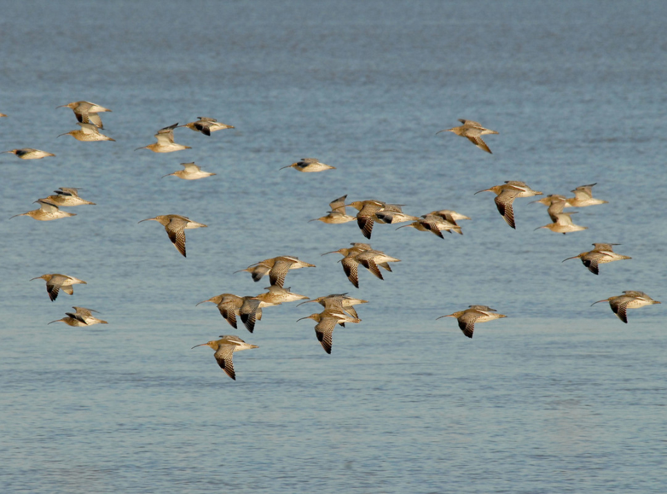 WWT welcomes French curlew decision reversal